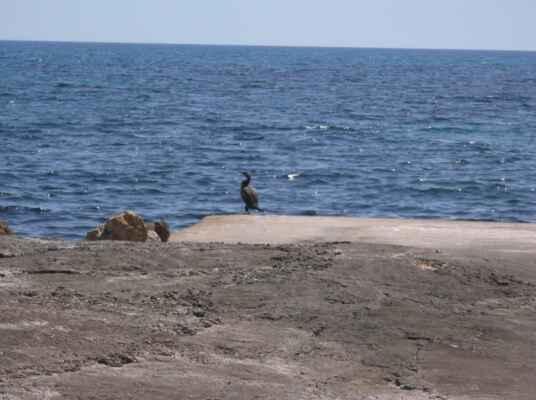 Kormorán (Phalacrocorax) je jediným rodem monotypické čeledě kormoránovití (Phalacrocoracidae). Rod těchto vodních ptáků je dost obsáhlý, dělí se do 40 druhů.  Kormoráni jsou rybožraví ptáci, za potravu jim slouží především ryby o ideální velikosti 10 až 20 cm, mořské i sladkovodní a veškeří vodní živočichové přiměřené velikosti které mohou spolknout. Potravu si loví pod vodou, dokážou se za kořistí velmi dobře potápět. Pod vodou vydrží průměrně půl minuty, některé druhy i o minutu déle, a potápějí se do hloubky i 50 m. K plavání pod vodou využívají pouze nohy, křídla mají přitlačena k tělu. Jsou stejně dobří letci jako plavci. Tenhle Kormorán před námi skočil šipku do moře a už jsme ho neviděli, i když jsme se dobré dvě-tři minuty rozhlíželi po moři.