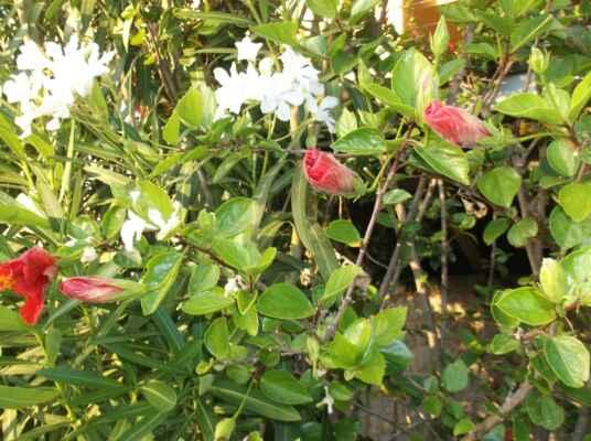 """Určitě jste si toho už všimli: tulipány, krokusy, ibišky, máky a mnoho dalších rostlin, když zvečera nastane chlad a stín, uzavřou své květy a """"jdou spát"""". Jak to dělají a proč? Možná nejsou líné a ospalé, ale naopak vyvinutější a """"chytřejší"""", než ty, které se tak nechovají. Toto přirozené chování rostlin se odborně nazývá nyktinastie (noctis = noc, nastie = pohyb), česky noční pohyby rostlin. Netýká se jen květů, v noci mění polohu i listy, větvičky i stonky. Jde o komplexnější jev než fotonastie, tj. pohyby vyvolávané světlem (např. otáčení květenství slunečnice za sluncem). Nyktinastii vyvolává rozdílná rychlost růstu nebo změna turgoru (vnitřního tlaku v pletivech) a je jedním z jevů denního rytmu rostlin. V chladu a temnotě rostou nejspodnější petaly (okvětní lístky) rychleji než horní petaly, čímž se květ uzavře."""