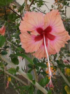 Ibišek (Hibiscus) je rod vyšších dvouděložných rostlin z čeledi slézovité (Malvaceae). Jsou to dřeviny i byliny s nápadnými květy, rozšířené v tropech a subtropech celého světa.
