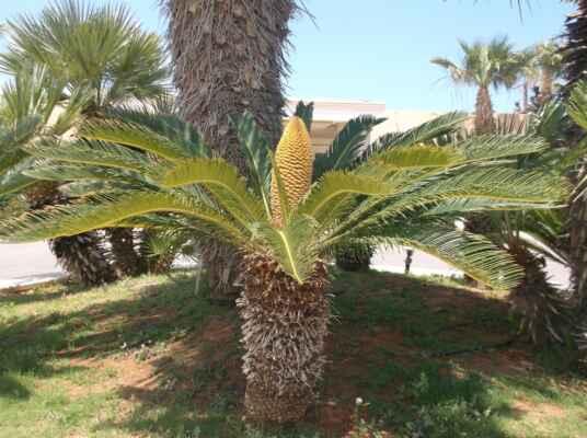 Cykas (Cycas) je rod rostlin z čeledi cykasovité (Cycadaceae). Rod cykas obsahuje přibližně 98 druhů cykasů a dalších přibližně 8 poddruhů z Asie a Austrálie a Afriky. Jménem cykasy je nicméně označováno více než 300 druhů rostlin v širší třídě cykasy. Nejznámějším cykasem je cykas japonský (Cycas revoluta), pocházející z jižního Japonska. Jako jediný z tohoto rodu je běžně dostupný i v prodejnách v ČR. Jedná se o prastarou a primitivní skupinu přežívající od doby permu (asi 250 milionů let). I proto jsou, vedle kapradin a přesliček, základem pravěkých sekcí řady botanických zahrad a jsou známy jako tzv. živoucí zkameněliny, rostliny s řadou prehistorických znaků.