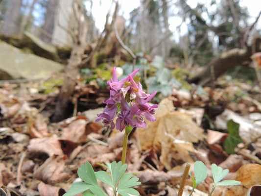 Dymnivka plná - Corydalis solida. Jedna z prvních jarních květin na břehu Svratky. Autor snímku: J. Sterzel