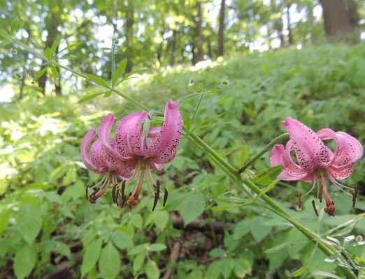 Lilie zlatohlavá - Lilium martagon. Jeden z klenotů květeny PR Sokolí skála. Kategorie ochrany C3 - ohrožené. Autor snímku: J. Sterzel