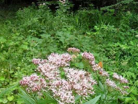 Sadec konopáč - Eupatorium cannabinum. Květy silně přitahují hmyz, hlavně motýly. Vinohrad. Autor snímku: J. Sterzel
