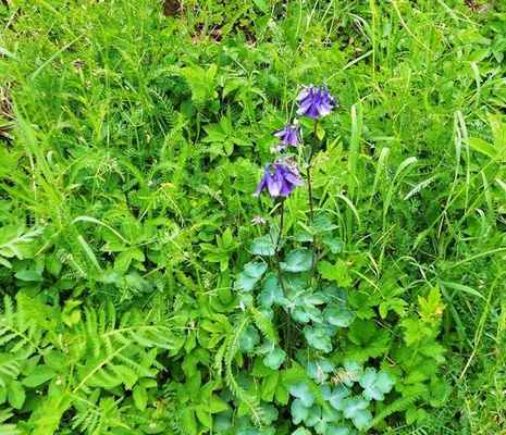 Orlíček obecný - Aquilea vulgaris. Pravděpodobně zplanělý na Vinohradě. Autor snímku: J. Sterzel