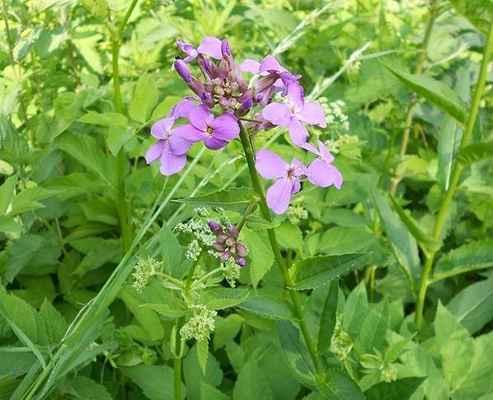 Večernice vonná - Hesperis matronalis. Rostoucí na břehu Svratky, pravděpodobně splavená z nějaké zahrady. Autor snímku: J. Sterzel