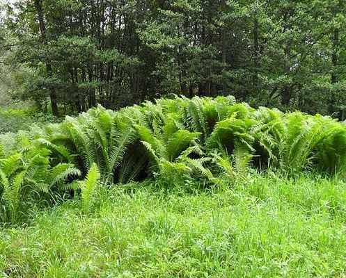 Pérovník pštrosí - Matteucia struthiopteris. Překrásná kapradina rostoucí u splavu. Kategorie ochrany C3. Autor snímku: J. Sterzel