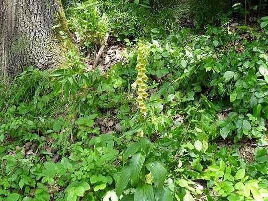 Náprstník velkokvětý - Digitalis grandiflora. Nápadná a dosti hojná jedovatá květina z Vinohradu. Autor snímku: J. Sterzel