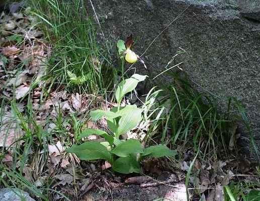 Střevíčník pantoflíček - Cypripedium calceolus. Naše nejkrásnější vstavačovitá rostlina znovu vysazena na Pláňavě. Kategorie ochrany C3. Autor snímku: J. Záhora