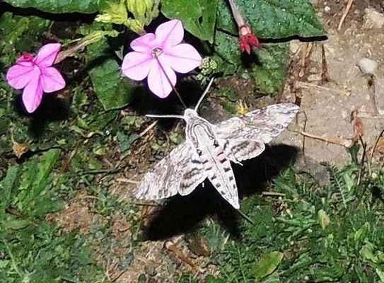 Lišaj svlačcový - Agrius convolvuli. Migrant z jižní Evropy saje za stojícího letu dlouhým sosákem z květu okrasného tabáku. Foceno za soumraku na mé zahradě. Autor snímku: J. Sterzel