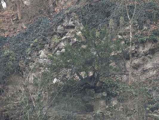 Tis červený - Taxus baccata. Keřovitý symbol PR Sokolí skála. Kategorie ochrany C3. Autor snímku: J. Sterzel, listopad 2013.