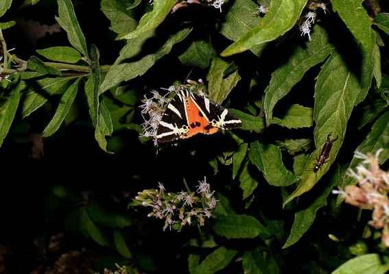 Přástevník kostivalový - Euplagia quadripunctaria. Elegantní noční motýl, který létá i za dne. Latinský název dostal podle čtyř tmavých skvrn na zadních křídlech. Autor snímku: J. Sterzel
