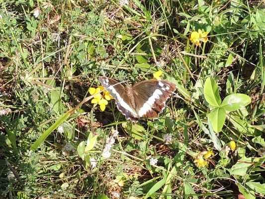 Okáč voňavkový - Brintesia circe, velký motýl s rozpětím křídel 6 - 8 cm, zapsaný v červeném seznamu ohrožených druhů bezobratlých v ČR jako druh zranitelný. Autor snímku: J. Sterzel