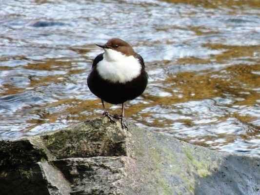 Skorec vodní - Cinclus cinclus, žije u mělkých kamenitých říček a u potoků s bystrou proudící vodou, kde se ptáci mohou dobře potápět. Skorec létá nízko nad hladinou nebo posedává na skalnatém výstupku nad vodou, odkud má dobrý výhled. Řeka Svratka, autor snímku: J. Sterzel