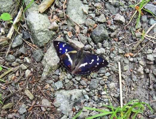 Batolec duhový - Apatura iris. Motýl, který si barevnými proměnami nezadá s motýly tropů. Kagorie ohrožený C3. Autor snímku: J. Sterzel