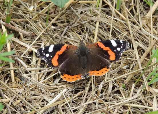 Babočka admirál - Vanessa atalanta. Tažný motýl přilétající v květnu z jihu a vyskytující se až do října, kdy se částečně vrací zpět. S oblibou saje na spadaném ovoci a mízu na poraněných stromech. Autor snímku: J. Sterzel