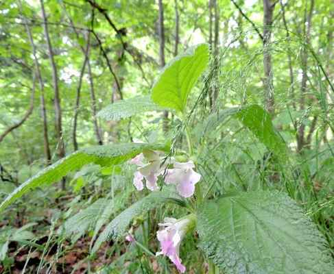 Medovník meduňkolistý - Melittis melissophyllum. Jeho původní české jméno je Doubravník růžový jak ho nazval v roce 1846 Presl. Kategorie ochrany C3. Autor snímku: J. Sterzel