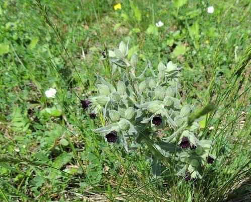 Pipla osmahlá - Nonea pulla. Květina s nejtmavšími, téměř černými květy, u nás. Kategorie ochrany C4a. Autor snímku: J. Sterzel