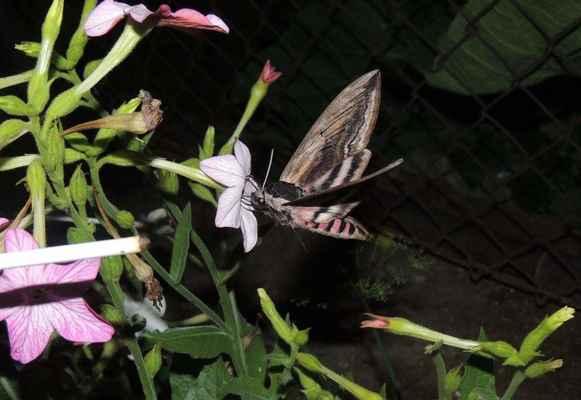 """Lišaj šeříkový - Sphinx ligustri. Na květech okrasného tabáku. Vyskytuje se často v parcích velkoměst, proto se někdy nazývá """"pražský lišaj"""". Autor snímku: J. Sterzel"""