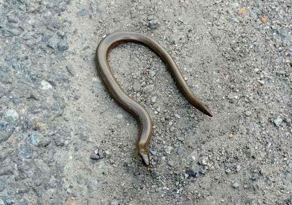 Slepýš křehký - Anguis fragilis.  Není had, ale beznohý ještěr hadovitého těla, s lehce odlomitelným ocasem. Je uveden jako druh silně ohrožený, proto je nutno ho chránit. Autor snímku: J. Sterzel