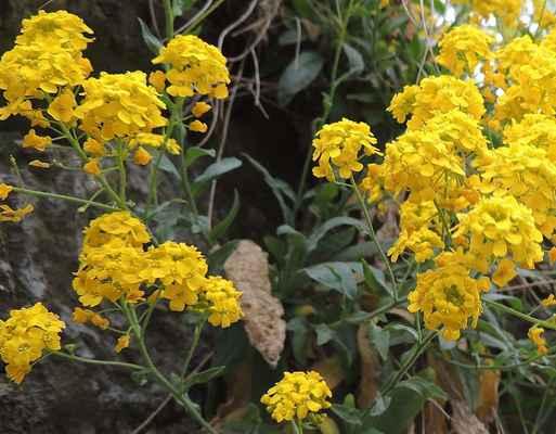 Tařice skalní Arduinova - Aurinia saxatilis subsp.arduini. Roste na Skalní ostrožně nad Svratkou v přírodní rezervaci Sokolí skála. Zařazena do kategorie ochrany jako ohrožená. Autor snímku: J. Sterzel