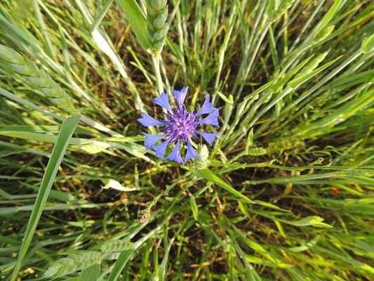 Chrpa modrá - Centaurea  cyanus. Dříve hojný jednoletý plevel typický pro obilná pole. Dnes vzhledem ke své vzácnosti, chráněn v kategorii C4 vyžadující zvláštní pozornost. Autor snímku: J. Sterzel