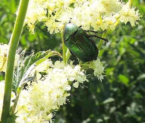 Zlatohlávek zlatý - Cetonia aurata.  Brouk který je ozdobou naší přírody na tužebníku jilmovém. Larva je hodně podobná ponravě chrousta a žije nejčastěji v hnízdech mravenců. Autor snímku: J. Sterzel