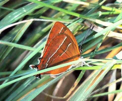 Ostruháček březový - Thecla betulae. Ač se jmenuje březový, jeho housenky žijí především na trnce, ale i jiných listnatých dřevinách. Vyfotografován na Pláňavě. Autor snímku: J. Sterzel