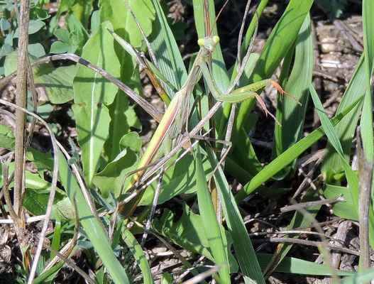 Kudlanka nábožná - Mantis religiosa. Obávaný predátor z hmyzí říše, který dokáže při čekání na kořist bezvadně splynout s okolím. Pro člověka je ale neškodná. Dříve pouze na jižní Moravě, dnes - díky klimatickým změnám - poměrně běžná i v přírodě Doubravnicka. Autor snímku: J. Sterzel