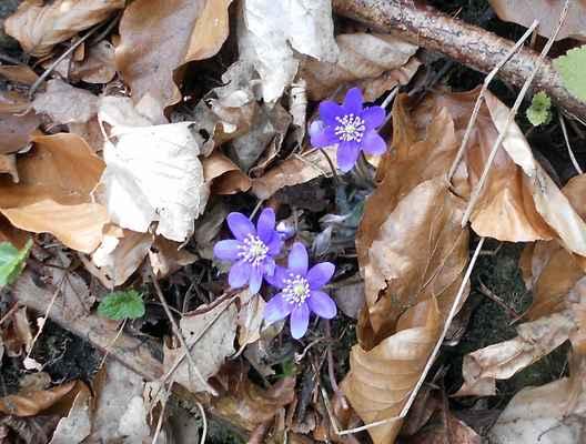 Jaterník podléška - Hepatica nobilis. Jeden z nejprvnějších poslů jara. Běžně k nalezení v habrových doubravách a habrových bučinách, věrný průvodce lísky. V nejbližším okolí Doubravníku je tato rostlina nejvíce rozšířena v suťovém lese - Pasíčce. Její přítomnost signalizuje kyprou, svěží půdu s příznivou formou humusu. Autor snímku: J. Sterzel