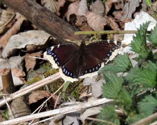 Babočka osiková - Nymphalis antiopa. Tento elegantní motýl je největší babočkou. Přezimovavší jedinci mají bílý lem křídel, který je u čerstvých exemplářů žlutavý. Autor snímku: J. Sterzel