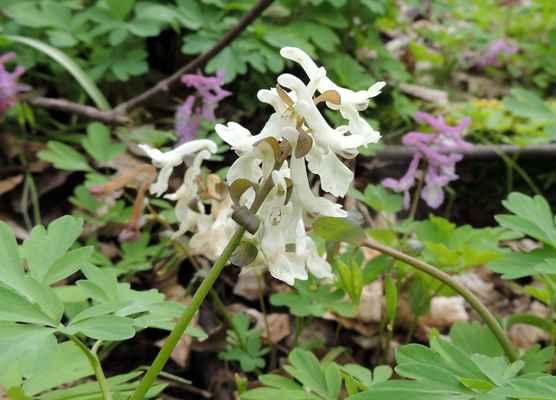 Dymnivka dutá - Corydalis cava. Bílá varianta květů z habrových hájků u Křížovic. Autor snímku: J. Sterzel