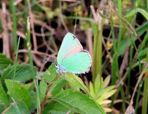Ostruháček ostružinový - Callophrys rubi. Jediný náš motýl který má zelená křídla. Zdržuje se většinou v korunách stromu a zřídka ho zastihneme na zemi. Jeho housenka se podobá malým slimákům. Autor snímku: J. Sterzel