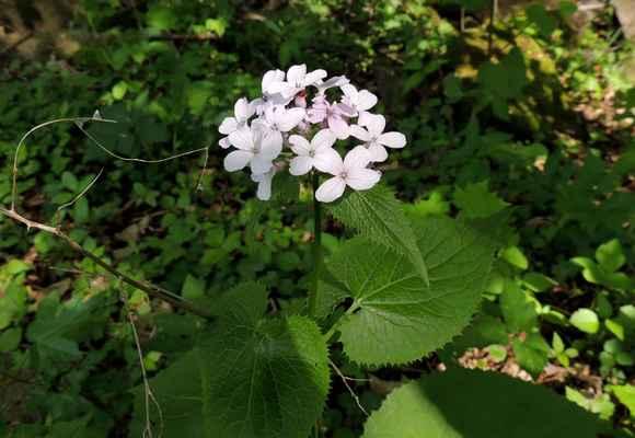 Měsíčnice vytrvalá - Lunaria rediviva.  Polostinný lesní druh velmi příjemně vonící. Název odvozen od bílých šešulí a tvaru semen. U nás roste na břehu Svratky. Autor snímku: J. Sterzel