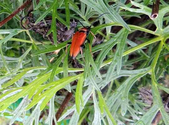 Tesařík obecný - Corymbia rubra. Na snímku samička. Sameček je menší a má krovky žlutohnědé. Brouci létají v teplých slunečných dnech na lesních okrajích. Larvy se většinou vyvíjí ve starých pařezech jehličnanů. Autor snímku: J. Sterzel
