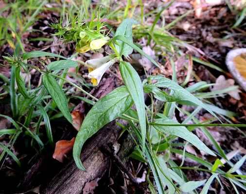 Černýš luční - Melampyrum pratense. Mimořádně proměnlivý druh rostoucí na lesních okrajích. Láká především čmeláky a je jako všechny černýše jedovatý. Autor snímku: J. Sterzel