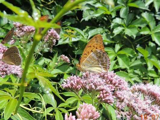 Perleťovec stříbropásek - Argynnis paphia. Náš největší perleťovec, pojmenovaný podle stříbrných pásek na zadních křídlech. Nejčastěji se vyskytuje na lesních světlinách s porosty ostružiníků, nebo jiných medujících rostlin. Autor snímku: J. Sterzel