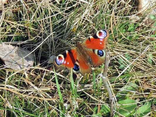 Babočka paví oko - Aglais io. Hojně se vyskytující motýl, všeobecně známý pro své nápadné oční (paví) skvrny na křídlech. Vyskytuje se všude tam, kde jeho housenky mohou žít na kopřivách. Autor snímku: J. Sterzel