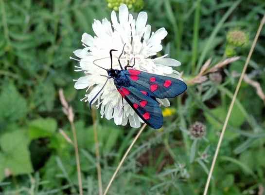 Vřetenuška pětitečná - Zygaena lonicerae. Název odvozen od počtu červených skvrn na křídlech. Létá hlavně na květnatých výslunných křovinatých stráních. V oblibě má modrofialově kvetoucí rostliny. Autor snímku: J. Sterzel