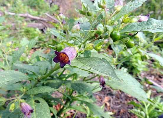 Rulík zlomocný - Atropa bella-donna. Rostlina rostoucí na lesních světlinách. Plodem jsou bobule, po dozrání leskle černé veliké jako třešně. Jsou jedovaté, požití většího množství je smrtelné. Alkaloid atropin se používá k rozšiřování zorniček v očním lékařství. Dříve se dámy takto zkrášlovaly, odtud vědecké jméno. Autor snímku: J. Sterzel