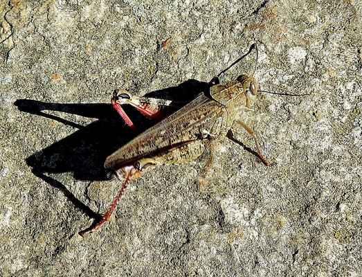 Saranče vlašská - Calliptamus italicus. Jedna ze tří druhů sarančí majících červenou barvu na zadních křídlech. Dále má červená zadní stehna z vnitřní strany a holeně. Je tom teplomilný druh, který obývá osluněná místa s řídkou vegetací. Samci  jsou ve srovnání se samicemi téměř poloviční. Autor snímku: J. Sterzel