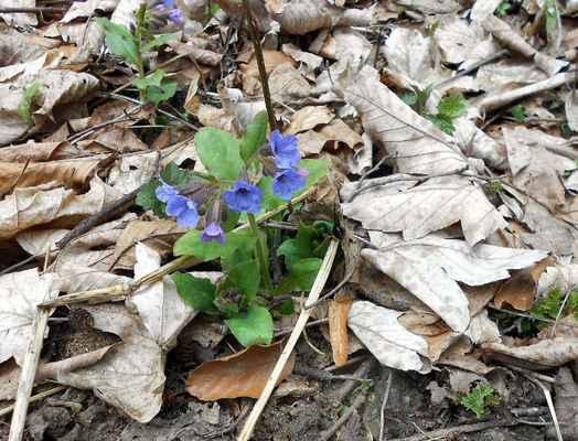 Plicník lékařský - Pulmonaria officinalis. Květy mění barvu podle kyselosti prostředí z červené na fialovou a modrou, proto se mu také říká trojbarevné kvítí. Je dlouhodobě používán jako léčivka. Jeho skvrnité listy připomínají skvrnitost plic, odtud jeho jméno. Autor snímku: J. Sterzel