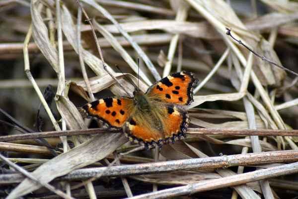 Babočka jilmová - Nyphalis polychloros. Přezimující motýl patří k nejčasnějším na jaře se probouzejícím babočkám. Nejraději má okraje lesů a nivy vodních toků. Živnou rostlinou housenek je nejčastěji vrba jíva a také jilm s topoly. Autor snímku: J. Sterzel