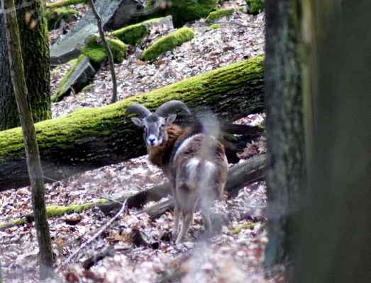 Muflon - Ovis musimon, mladý beran. Tato zvěř, původem z Korsiky a ze Sardinie, byla počátkem 18.století přivezena do evropských obor. Nyní se s ní můžeme setkat už i ve volné přírodě. Na Doubravnicku se menší stádo pohybuje v oblasti přírodní rezervace Sokolí skála. Autor snímku: J. Sterzel