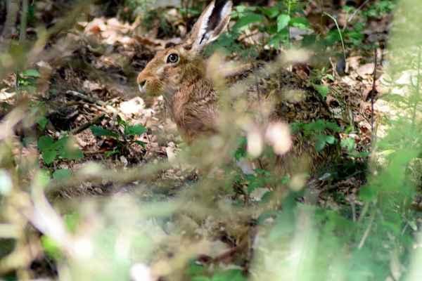 Zajíc polní - Lepus europaeus, byl kdysi nejhojnější lovnou zvěří na našem území. Jeho stavy však v druhé polovině minulého století velmi zredukovala velkoplošná zemědělská činnost, takže není vůbec běžné se s ním na vycházce potkat. V přírodě Doubravnicka však nechybí... Autor snímku: J. Sterzel