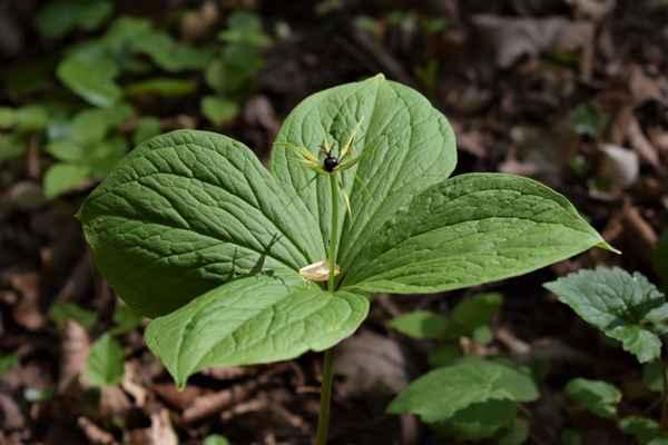 Vraní oko čtyřlisté - Paris quadrifolia. Zajímavá rostlina, mající za plod černou bobuli, odtud zřejmě její jméno. Je jedovatá, ale dříve byla používána proti nakažlivým nemocem včetně moru. Tento účinek však nebyl prokázán. Autor snímku: J. Sterzel