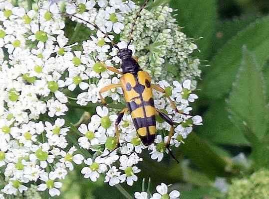 Tesařík skvrnitý - Leptura maculata. Hojný brouk lišící se od podobného tesaříka čtveropásného především žlutýma nohama. Larvy žijí převážně v dřevě listnatých stromů. Brouky nejčastěji najdeme na květech miříkovitých rostlin. Autor snímku: J. Sterzel