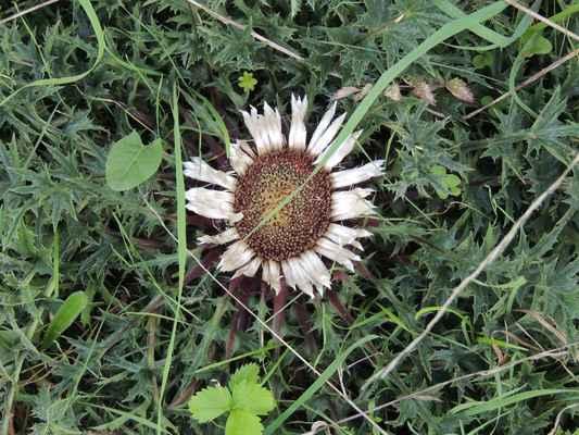 Pupava bezlodyžná - Carlina acaulis. Je zajímavá tím, že listeny zákrovu reagují na vlhkost ovzduší a úbor uzavřou. Dužnatá lůžka jsou jedlá a lidově se jim říká chlebíček. Kořen se v lidovém léčitelství doporučuje proti nachlazení, horečce a nemocem žlučových cest. Také se věřilo, že rostlina zahání mor. Autor snímku: J. Sterzel