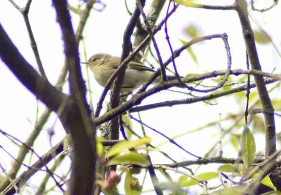 Budníček menší - Phylloscopus collybita. Zpěvný pták velikosti vrabce, podle zbarvení snadno zaměnitelný s Budníčkem větším (Phylloscopus trochilus). Rozlišovacím znakem jsou tmavé nohy. V přírodě Doubravnicka poměrně hojný, především v listnatém lese s keřovým patrem na vlhčích stanovištích. Kulovité hnízdo s bočním vchodem staví nízko nad zemí, většinou v kopřivách. Mladé vyvádí 2x ročně. Autor snímku: J. Sterzel