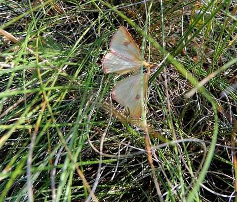 Přástevník chrastavcový - Diacrisia sannio. Nejhojnější přástevník Doubravnicka. Vyznačuje se značnou barevnou rozdílností i velikostí mezi samcem a samicí. Motýli jsou aktivní hlavně v noci, ale často je lze zastihnout i ve dne, převážně však jen samce. Autor snímku: J. Sterzel