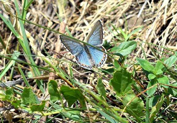 Modrásek jetelový - Polyommatus bellargus. Na území Doubravníka hojný, ale v Čechách vzácný. Motýl žije na osluněných suchých stanovištích a jetelištích. Samci mají líc křídel zářivě blankytně modrý, samičky hnědý. Často se se u samiček objevuje netradiční nápadné zbarvení, související pravděpodobně se sexuální atraktivitou. Na fotografii jedna taková samička. Autor snímku: J. Sterzel